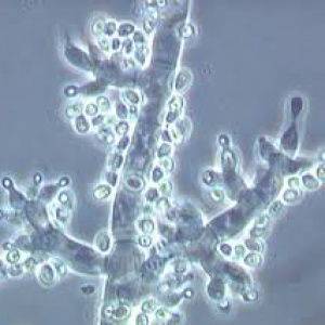TRICHODERMA.SP